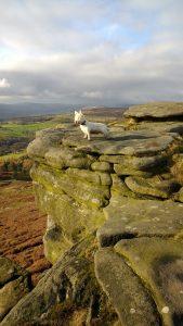Alfie dog on Stanage